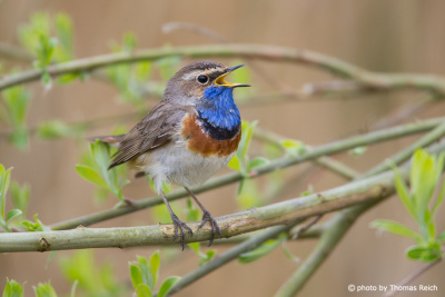 Bluethroat in Germany