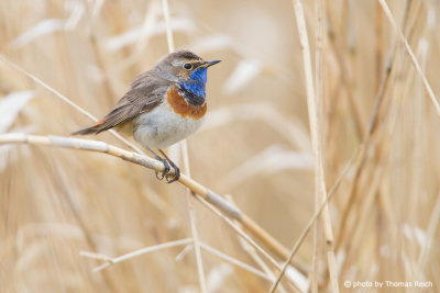 Bluethroat appearance
