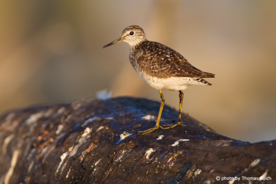Wood Sandpiper appearance