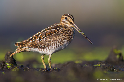 Common Snipe call