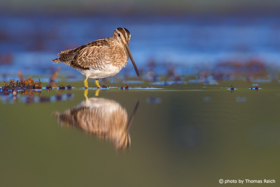 Common snipe legs