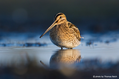 Common snipe beak