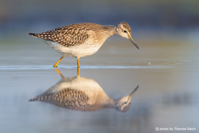 Wood Sandpiper diet