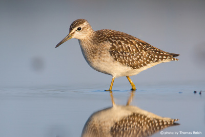 Wood Sandpiper wings