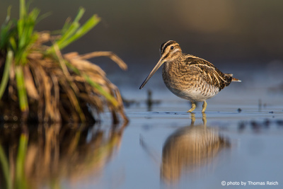 Common snipe in spring time