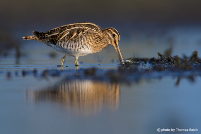 Common snipe diet