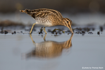 Common snipe walking