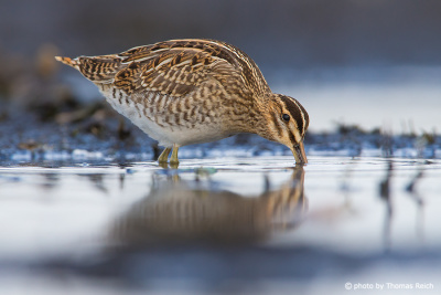 Common snipe in MV Germany