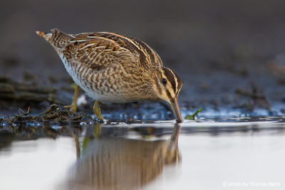 Common snipe hunting