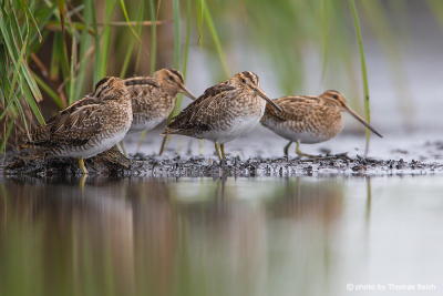 Common snipe birds