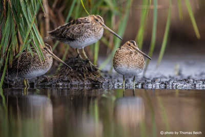 Common Snipes resting
