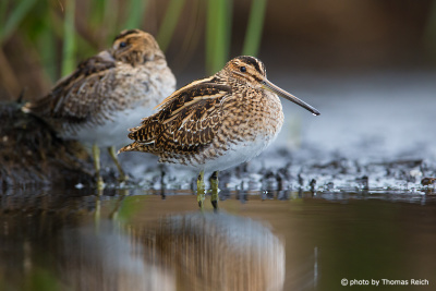 Common Snipe standing in shallow waters