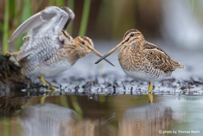 Common snipe couple