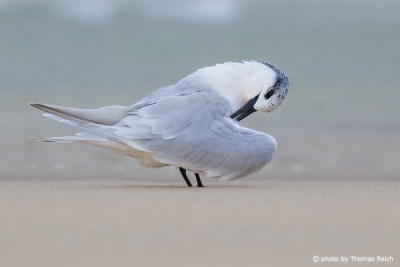 Sandwich Tern cleaning wings