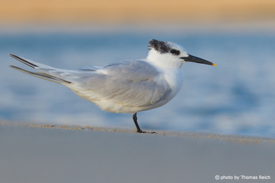Sandwich Tern North Sea