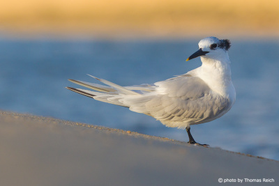 Sandwich Tern in Amrum Germany