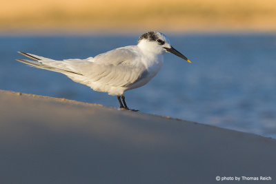 Sandwich Tern beak