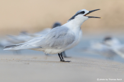 Sandwich Tern call