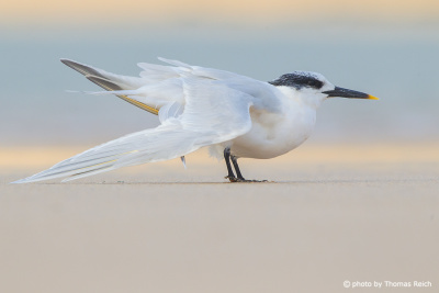 Sandwich Tern feathers