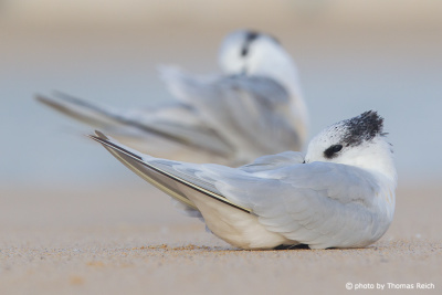 Sleeping Sandwich Terns