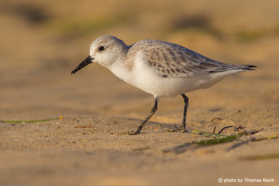 Sanderling Portrait