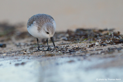 Sanderling am flachen Sandstrand