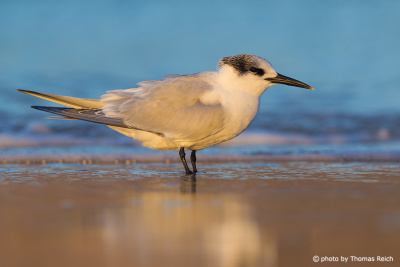 Sandwich Tern at the coast