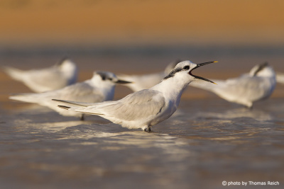 Sandwich Tern voice