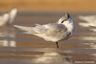 Sandwich Tern sleeps