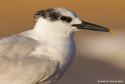 Sandwich Tern close up