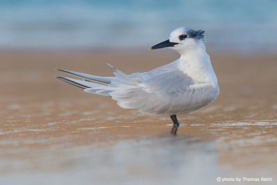 Sandwich Tern at the beach
