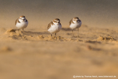 Plovers on the beach