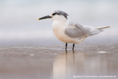 Sandwich Tern bird