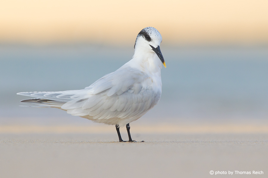 Sandwich Tern at the ocean