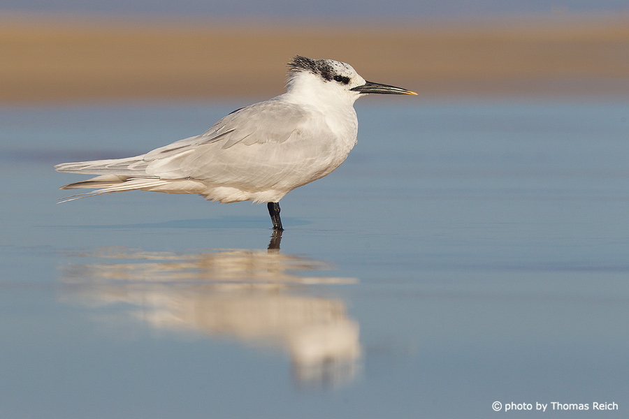 Sandwich Tern in the mud flats