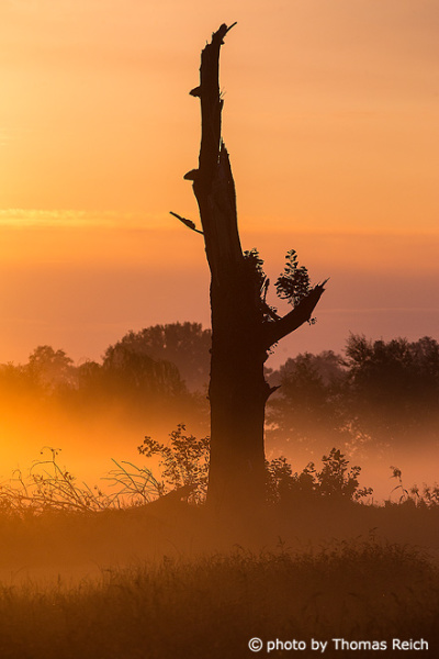 Dead tree silhouette in the mist
