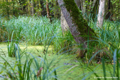 Swamp Forest water in spring