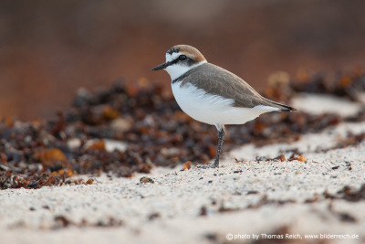 Kentish plover appearance