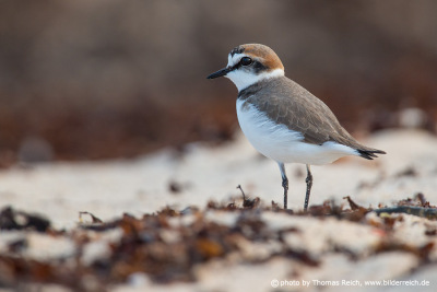 Kentish plover bird