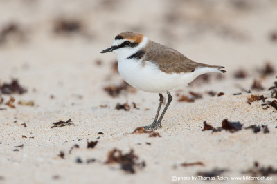 Kentish plover habitat