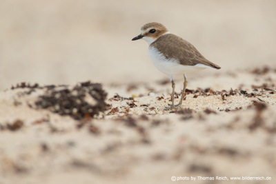 Kentish plover in Fuerteventura
