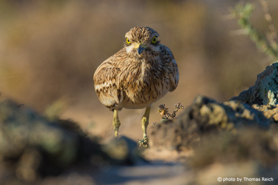 Eurasian Stone-curlew in the morning light
