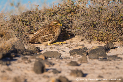 Eurasian Stone-curlew in the bush