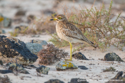 Eurasian Stone-curlew on the canary islands