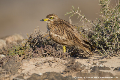 Size of Eurasian Stone-curlew