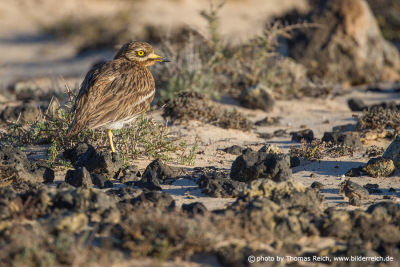 Eurasian Stone-curlew plumage