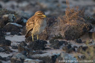 Eurasian Stone-curlew appearance
