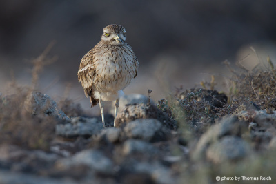 Eurasian Stone-curlew´s diet