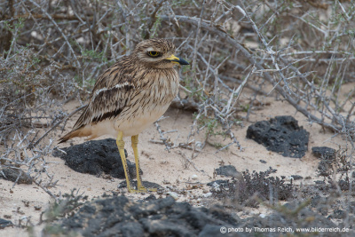 Eurasian Stone-curlew well camouflaged