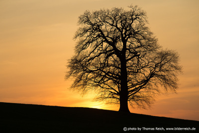 Oak without leaves with sunset